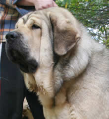 spanish mastiff carmen
