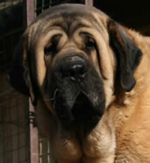 spanish mastiff luxor